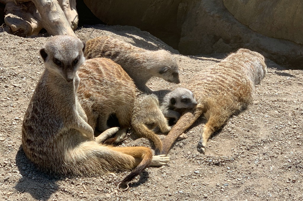 Visit The Welsh Mountain Zoo